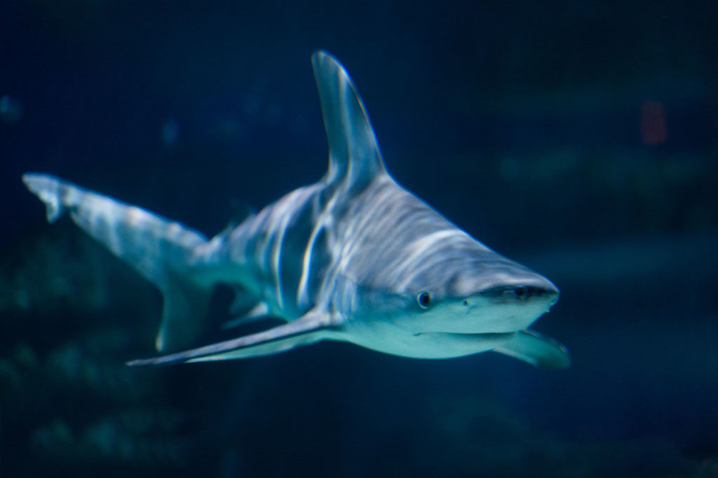 Shark (Living Planet Aquairum)